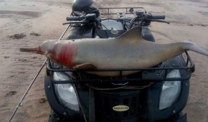 Paseó un delfín en cuatriciclo y fue multado por un millón de pesos
