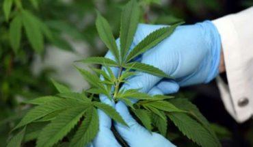 Proponen quitar al cannabis de la lista internacional de drogas peligrosas
