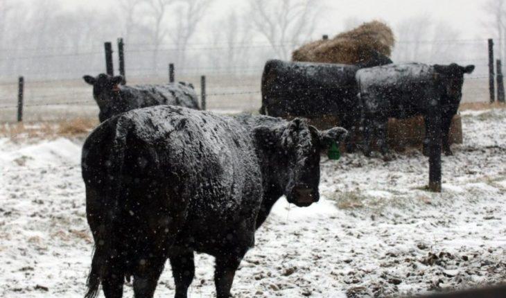 Tormenta invernal provoca muerte de más de 1600 vacas