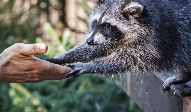 Adorable mapache entra a un banco y crea conmoción en CDMX