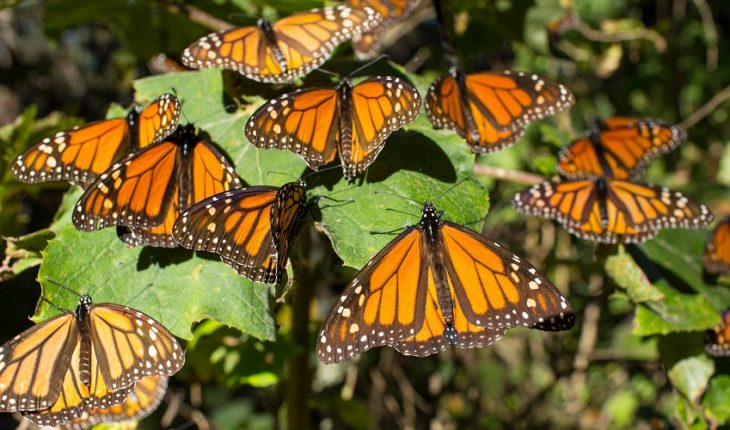 Deforestation and mining threaten the monarch butterfly