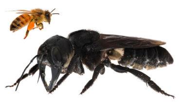 Encuentran en Indonesia a una abeja gigante que se daba por extinta