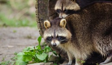 Alertan por mapaches rabiosos en Nueva York