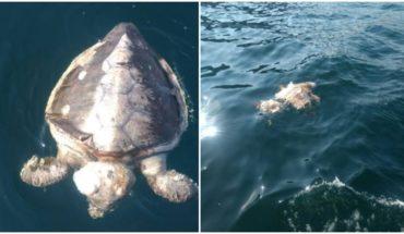 Encuentran 101 tortugas muertas en playas de Guerrero
