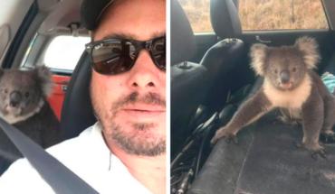 Koala se mete a su coche para aprovechar el aire acondicionada en Australia