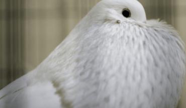 Subastan paloma mensajera en 1,25 millones de euros en Bélgica