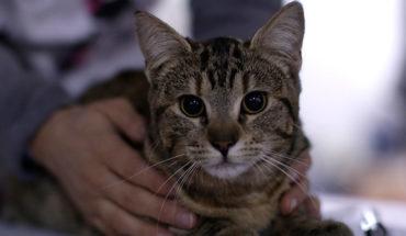 Cosas que debes saber antes de esterilizar a tu gato