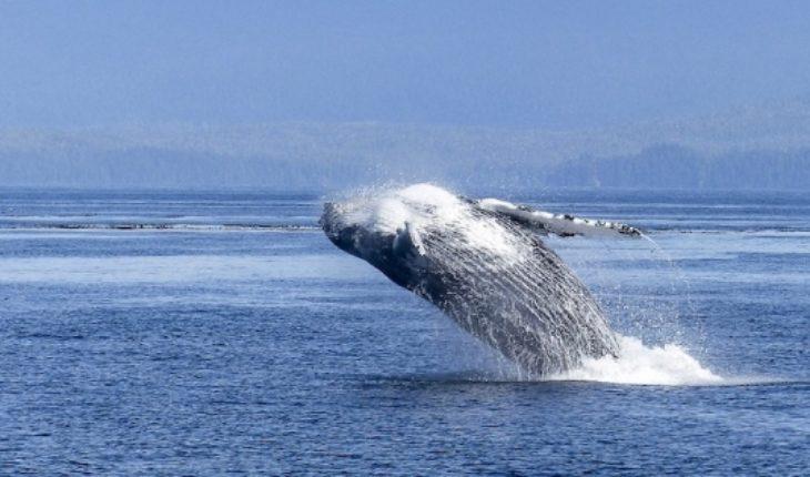 Investigadores determinan que las ballenas jorobadas es el animal más complejo del mundo acústicamente