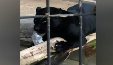 Jaguar attacking woman who tried to take selfie with it in us Zoo