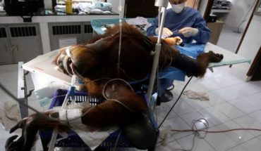 Orangután queda ciega tras recibir más de 70 disparos en Indonesia