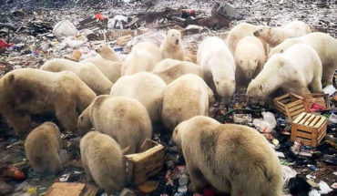The history of the image of polar bears looking for food in the trash