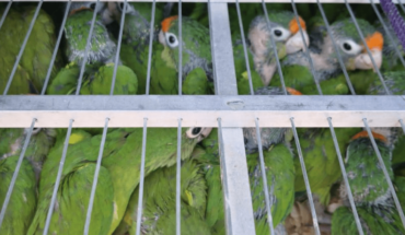 They are almost five hundred parrots caged in EdoMex