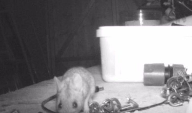Video: hombre descubre que un ratón ordena su taller cada noche