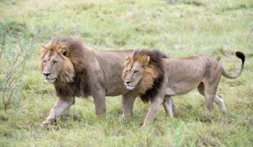 Cazador de rinocerontes murió al ser atacado por un elefante y devorado por leones