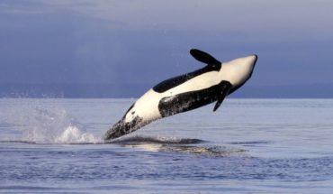 EEUU: Buscan restringir pesca de salmón para ayudar a orcas