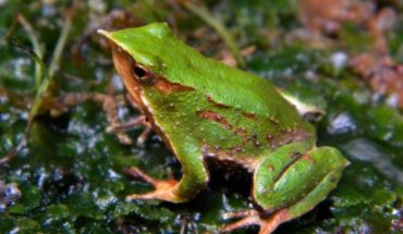 Hongo que causa extinción masiva de anfibios a nivel global también amenaza a la ranita de Darwin