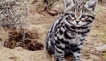 Australia could kill two million wild cats