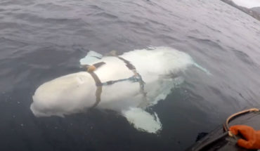 In Norway they are a whale beluga with a tight harness