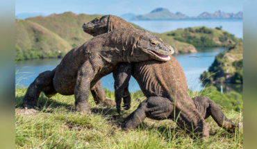 Indonesia closed on Komodo Island tourists, were robbed dragons