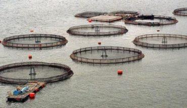 Salmon farming and indigenous peoples - El Mostrador