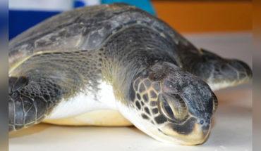 Rescatan a una tortuga en peligro de extinción, defecaba solo basura