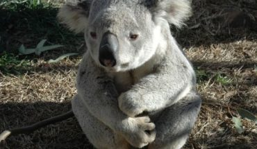 "In Australia they declare that koalas are ""functionally extinct"""