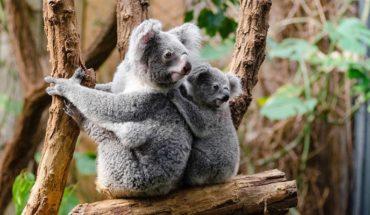 Koalas are almost extinct