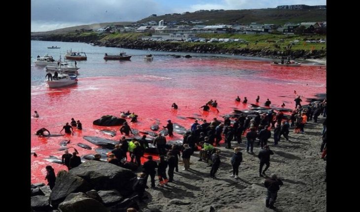Merciless slaughter of whales and dolphins came to dye the sea red
