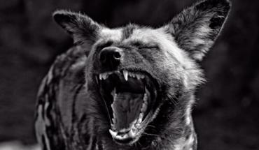 The pack Elitaria: the Hyenas of modernization