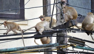 En la India quieren frenar la expansión de los monos, se muestran cada vez más agresivos contra los humanos