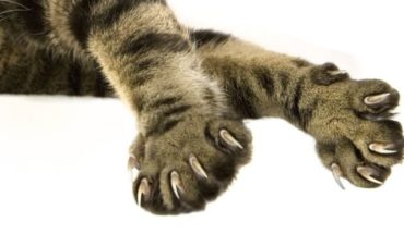 Cat claws: Why do Americans amputate them?