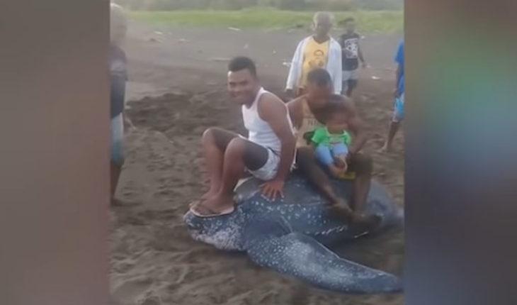 Maltrato animal en Indonesia: montan una tortuga laúd