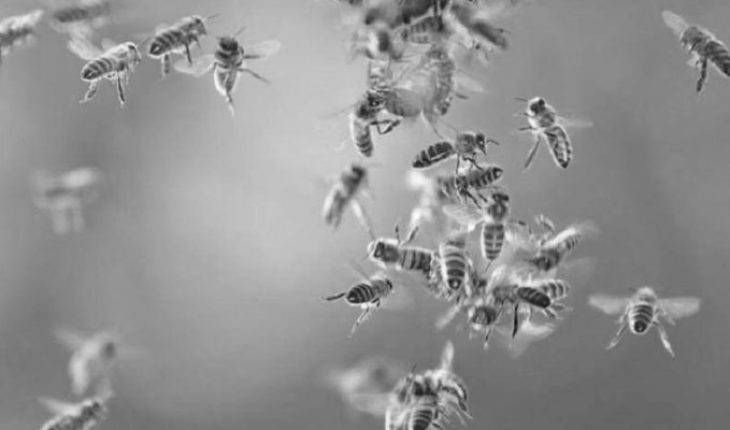A man dies when attacked by Africanized bees, in Los Reyes, Michoacán