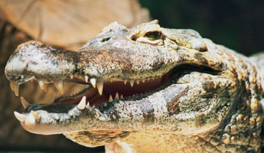 Alligators devour the corpse of a minor in a lake in Florida, USA