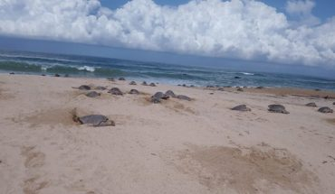 Hundreds of golfing turtles arrive at Michoacan beaches