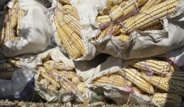 Who has the rights to indigenous maize?