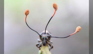 """La espectacular imagen de un """"hongo zombi"""" que toma el control absoluto de un escarabajo en Perú"""