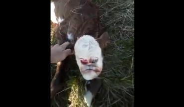 Ternero nace con rostro humano en Argentina (Video)