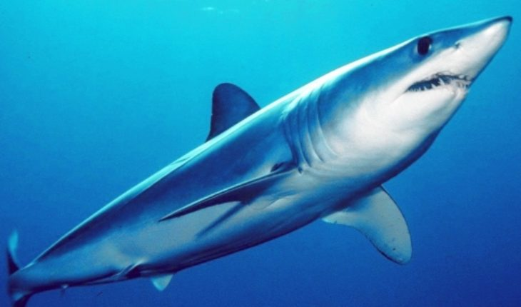 Tiburón mako: cómo uno de los peces más veloces y tenaces del mundo bordea la extinción