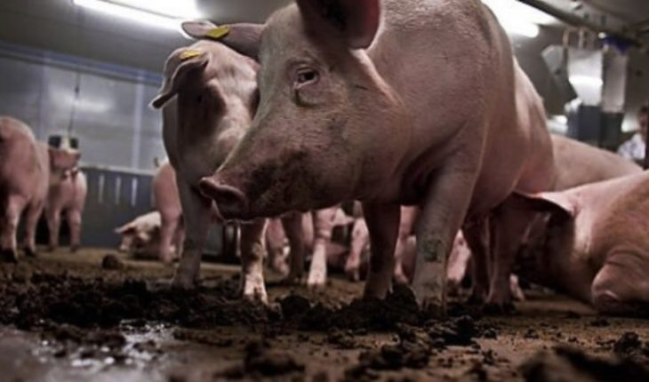 """Freirina 2.0: Approve of """"closed door"""" controversial coexca company pig project in the Maule"""