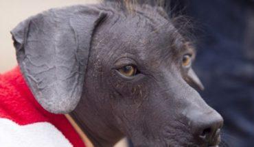 Peruvian Viringo: how this hairless dog became Peru's cultural heritage