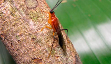 They discover a new species of religious mantis imitating wasps