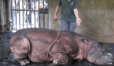 Malaysia's last Sumatran rhino dies and fewer than 80 in the world