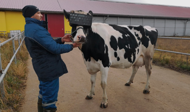 Russian farmers place virtual reality on cows so they feel they are in a meadow