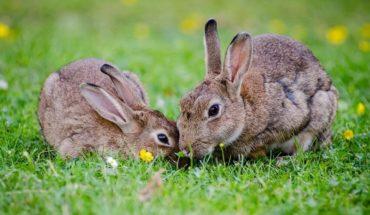 Los conejos estarían en peligro de extinción según la WWF