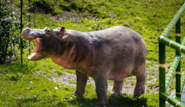 Pablo Escobar's hippo escapes and wanders through a village