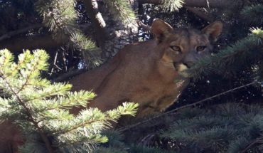 Puma slams found to be rescued in Lo Barnechea and SAG filed a complaint with the Prosecutor's Office