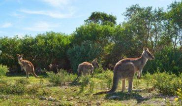 The alarming kangaroo hunt for pet food