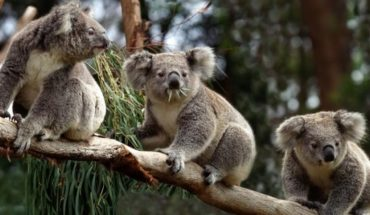 Australia launches food from helicopters to animals affected by fires