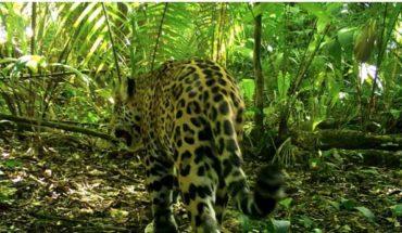 la carrera por proteger el hábitat del felino en México